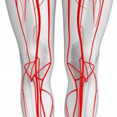 Human arterial system — Stock Photo
