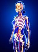 Female skeletal circulatory system — Stock Photo