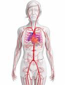 Female arterial system — Stock Photo