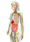 Lymphatic, skeletal, nervous and circulatory system — Stock Photo