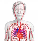Male arterial system — Stock Photo