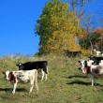 Cows Grazing on Hillside — Stock Photo #56021617