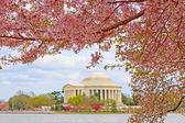 Cherry Blossoms at Washington DC — Stock Photo