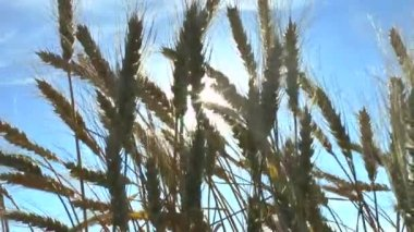 The movement of the ears of ripe wheat . — Stock Video