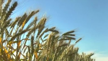 The movement of the ears of ripe wheat in the wind and the blue sky. — Stock Video