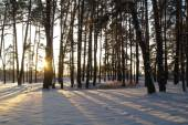 Magic sunrise in the snowy forest — Stock Photo