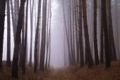 Pines in the forest with morning  — Stock Photo