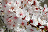 Apricot flowers on the branch — Stock Photo