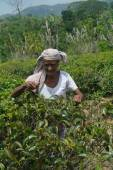 KANDY, SRI LANKA - 20 Mar 2014 : Female tea picker in tea plantation Directly and indirectly, over one million Sri Lankans are employed in the tea industry. — Stock Photo