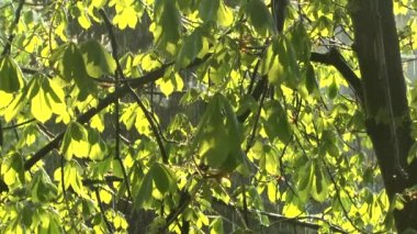 Green boughs of the chestnut trees in the rain — Stock Video