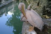 Pelican on land close up — Stock Photo