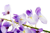 Close up of wisteria branch over white — Stock Photo