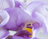Makro des lila Freesie — Stockfoto