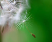 Dandelion close up over natural background — Stock Photo