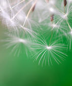 Dandelion seed dancing over green background — Foto Stock