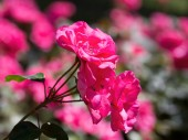Pink rose plant with rose plant background — Stock Photo