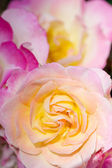 Pink shaded to yellow rose flower — Stock Photo