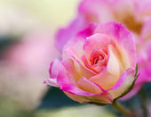 Pink shaded to yellow rose plant — Stock Photo