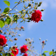 Red roses against blue sky — Stock Photo #76553797