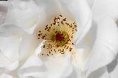 Variety of Mogioia rose flower — Stock Photo