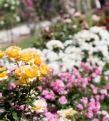 Rose garden wth yellow roses in the foreground — Stock Photo