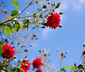 Red roses against blue sky — Stock Photo