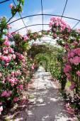 Romantic walk with flowering rosebush — Stock Photo