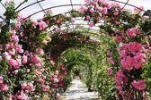 Romantic rosebed walk — Stock Photo