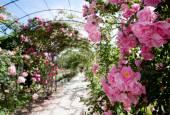 Romantic creeping rosebed path — Stock Photo