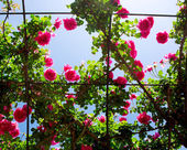 Romantic rosebed in backlight — Stock Photo