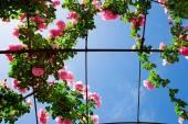 Creeping rosebed under blue sky — Stock Photo