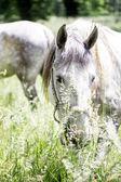Lipizzaner stallion hidden by the grass in outdoor scene — Stock Photo