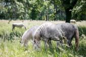 Lipizzaner horses grazinf in park in Slovenia — Stock Photo