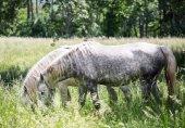 Lipizzaner horses grazing — Stock Photo