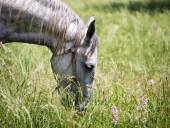Portrait of lipizzaner stallion in outdoors — Stock Photo