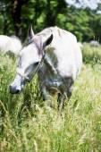 Lipizzaner stallion in outdoors — Stock Photo
