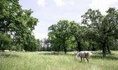 Lipizzaner grazing in outdoors — Stock Photo