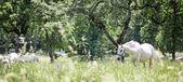 Wild lipizzaners in nature — Stock Photo