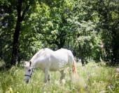 White lipizzaner grazing in  a bucolic nature — Stock Photo