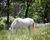 White lipizzaner grazing in nature — Stock Photo