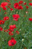 Red poppie anemone field — Stock Photo