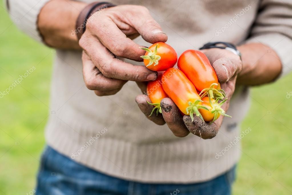 h nde ein junger m nner reife tomaten ernten stockfoto. Black Bedroom Furniture Sets. Home Design Ideas