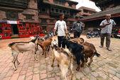 Animal sacrifice in Nepal — Stock Photo