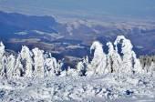 Zasněžené smrky v horách — Stock fotografie