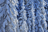雪の覆われたモミ — ストック写真