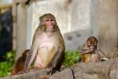 Mother Rhesus macaque monkey nursing its baby — Photo