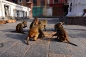 Macaque monkeys eating corn — Stok fotoğraf