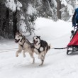 Running husky dogs at a dog sled race — Stock Photo #64611921