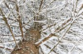 Snow covered fir branch and trunk — Stock Photo