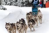 Husky dog sled — Stock Photo